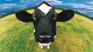 607271-cow